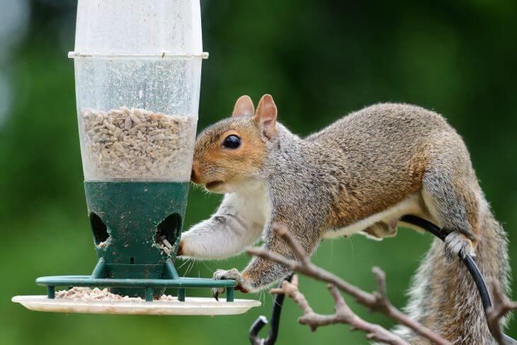 A squirrel looking for food in a garden bird feeder.