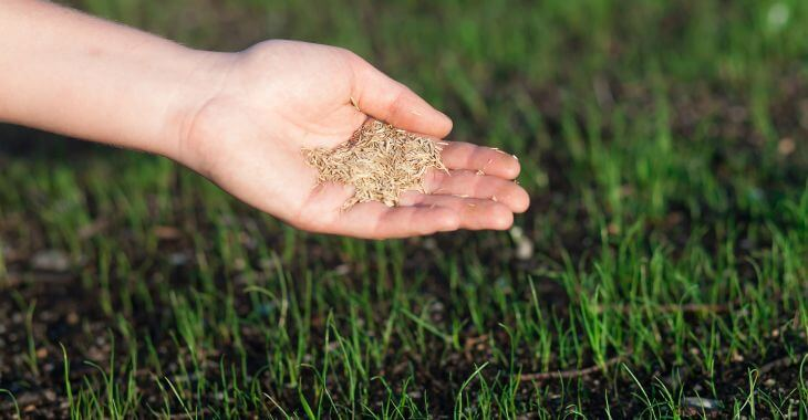 Open hand with grass seed for reseeding the lawn.