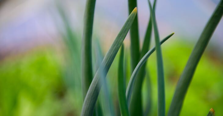 onion grass weed